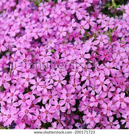 Purple Aubrieta Flowers Aubretia Flowers Aubrieta Fotka