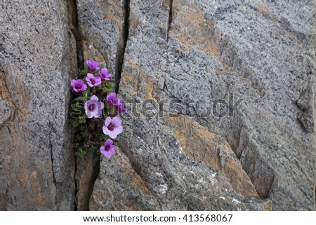 Purple saxifrage flowering in a crack between rocks. Photographed in Helgeland, Nordland, Norway.