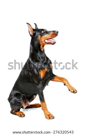 Put out your paw. Sitting doberman pinscher giving his paw on isolated white background.