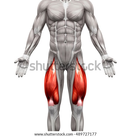 Quadriceps Male Muscles - Anatomy Muscle isolated on white - 3D illustration