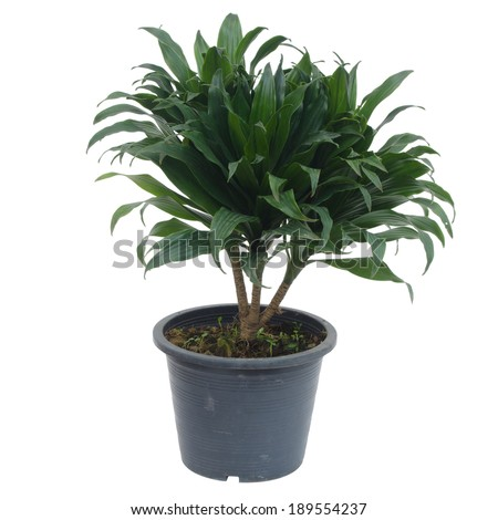 Queen of Dracaenas isolated on white background