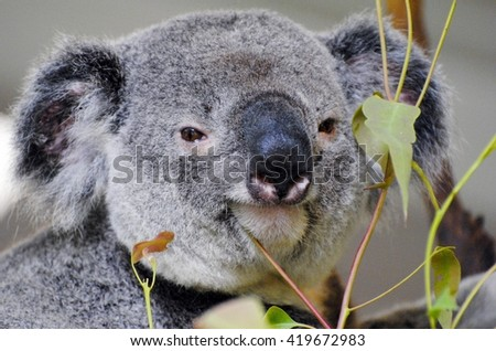 QUEENSLAND, AUSTRALIA - DECEMBER 16, 2015. Koala among eucalyptus leaves.