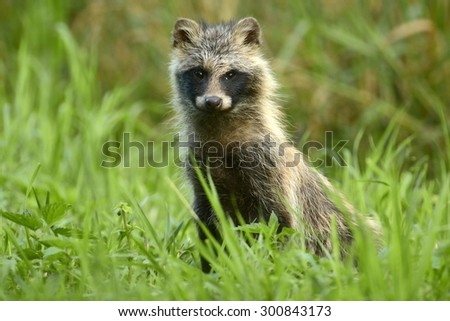 Raccoon dog standing in the grass