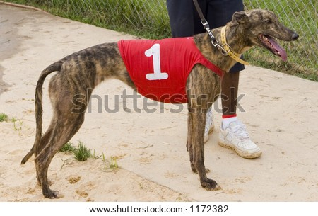 racing greyhound cooling down after race