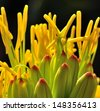 Radiant green buds with splendid yellow stamens of agave flowers on natural background dark gray - stock photo