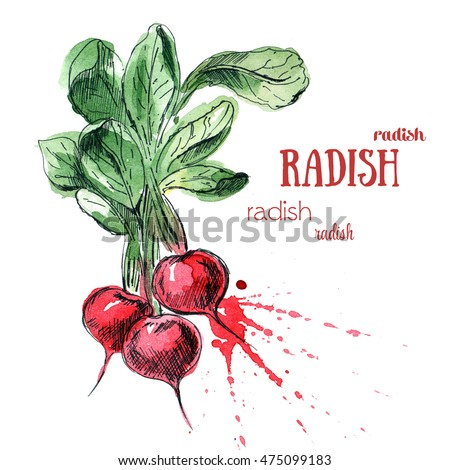 Radish with leaf. Hand drawn watercolor painting with sketch isolated on white background
