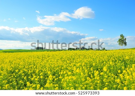 Rapeseed Field in Countryside