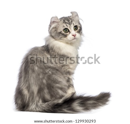 Rear view of an American Curl kitten, 3 months old, sitting and