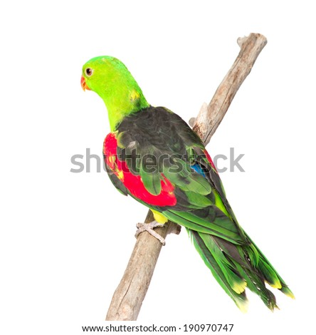 Rear view Red-Winged Parrot (Aprosmictus erythropterus). isolated on white background