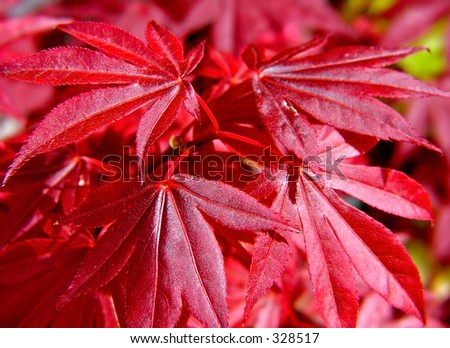 Red acer foliage