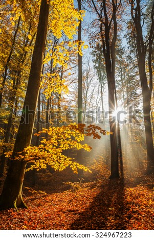 Red and colorful autumn colors in the beech forest