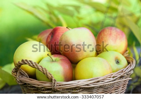 Red and green apples in autumn