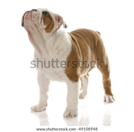 red and white english bulldog puppy standing looking up with reflection on white background