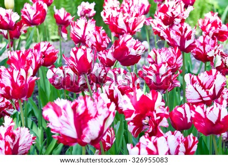Red and white Parrot tulips for background