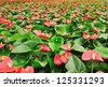 red anthurium potting in green house - stock photo