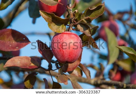 Red apple on a branch of apple trees in the garden