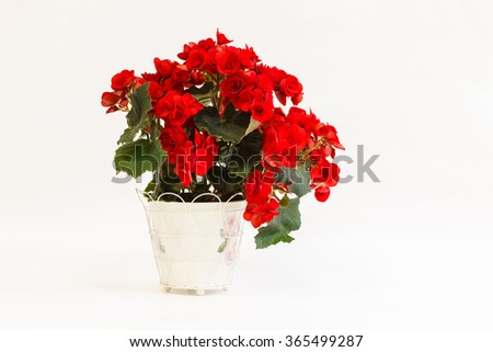 Red begonia in a pot