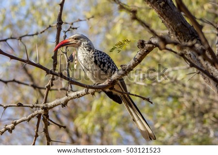 Red-billed hornbill at a South African game reserve.
