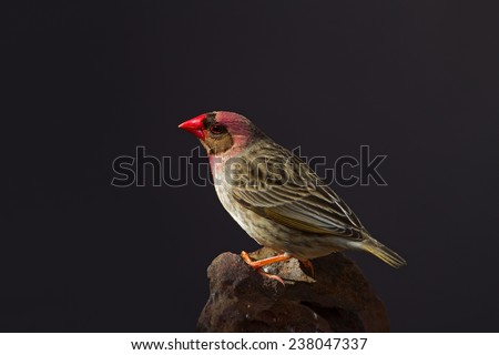 Red-Billed Quelea perched on rock; Quelea quelea