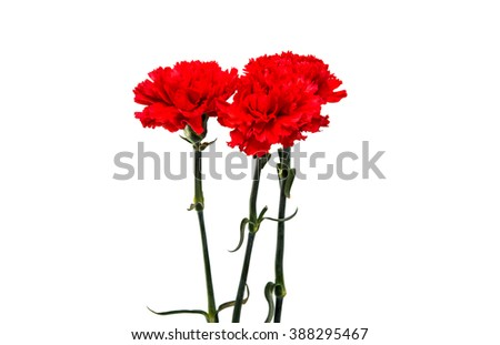red carnation isolated on a white background