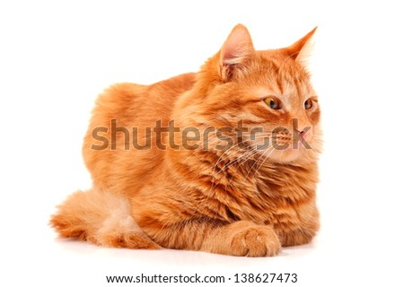 Red cat lying and posing at studio, white background