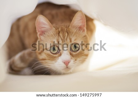 Red cat under sheet
