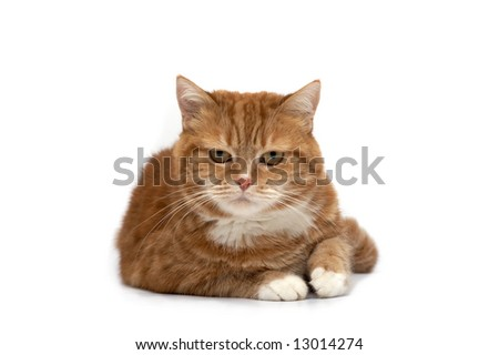 Red cat with orange eyes on a white background