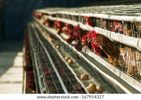 red chickens farm in cell sections