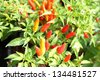 Red chilli pepper on plant - cherry chili - stock photo