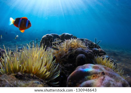 Red clown fish swimming near its home situated in for Fish swimming backwards