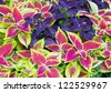 Red coleus and purple plant closeup (nature background) - stock photo