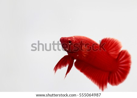 red color betta fish