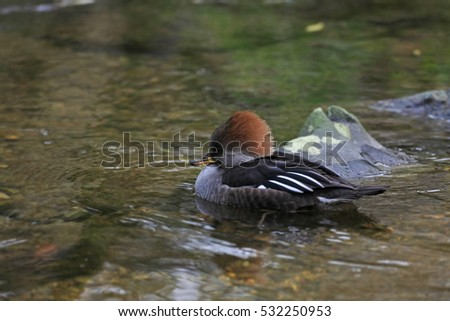 red-crested pochard  swimming in stream