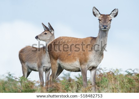 Red Deer Hind and Calf in bracken against a background of blue sky/Red Deer Hind/Red Deer Hind (Cervus Elaphus)