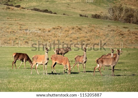 Red deer in The Pasture, New Zealand