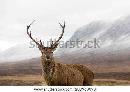 Red deer stag looking at camera in Scotish highlands.