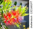 Red flower blossom, Banksia, Proteaceae - stock photo