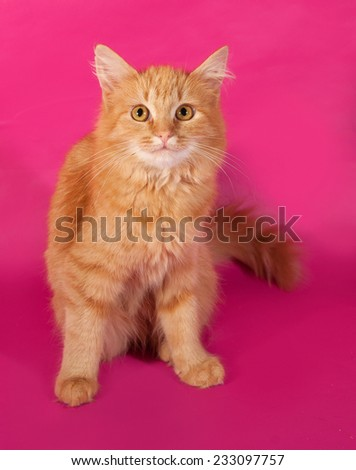Red fluffy kitten sitting on pink background