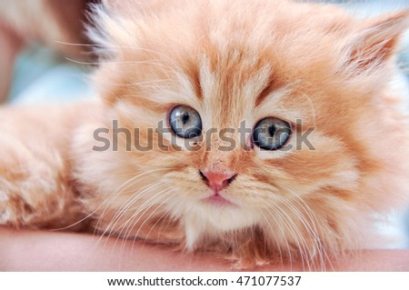 Red fluffy kitten with the blue eyes