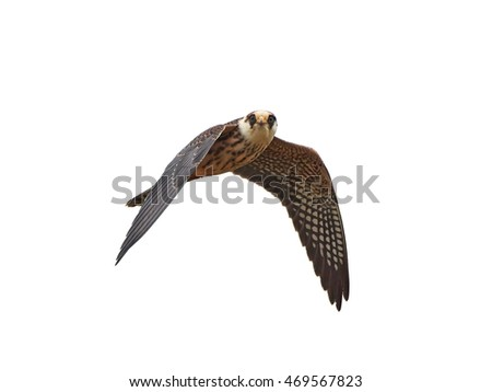 Red-footed falcon (Falco vespertinus) in flight isolated on a white background