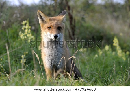 red fox in search of food