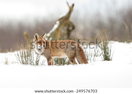 Red fox standing in a winter landscape