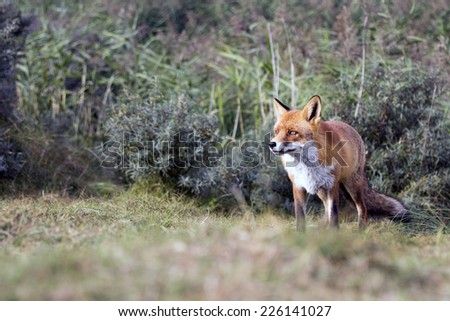 Red Fox Standing on a Green Grass Background
