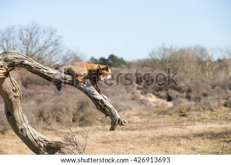 Red fox walking on top of a dead tree