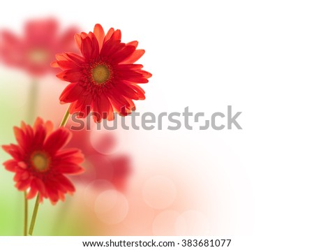 Red gerbera flowers on white background