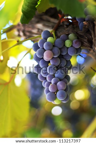 Red grapes in the vineyard with boke