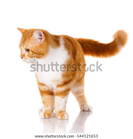 red-haired and white cat standing on a white background and is not looking in camera
