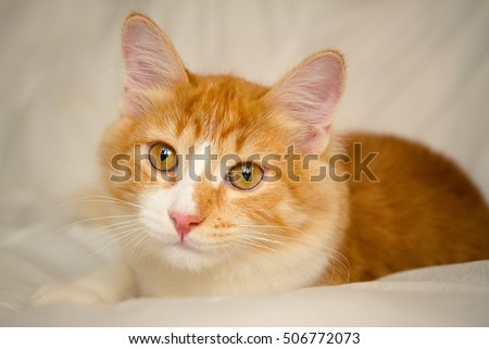 Red-headed cat. Portrait. Close-up