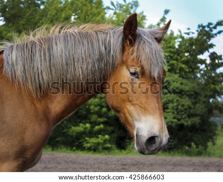 red horse in a halter with a white blaze on the head and a gray mane standing in the sand next to the green trees