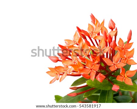 Red ixora coccinea flower, isolated on white background